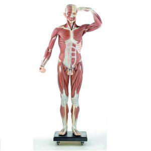 Modele mięśniowe