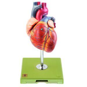 Serce i układ krwionośny